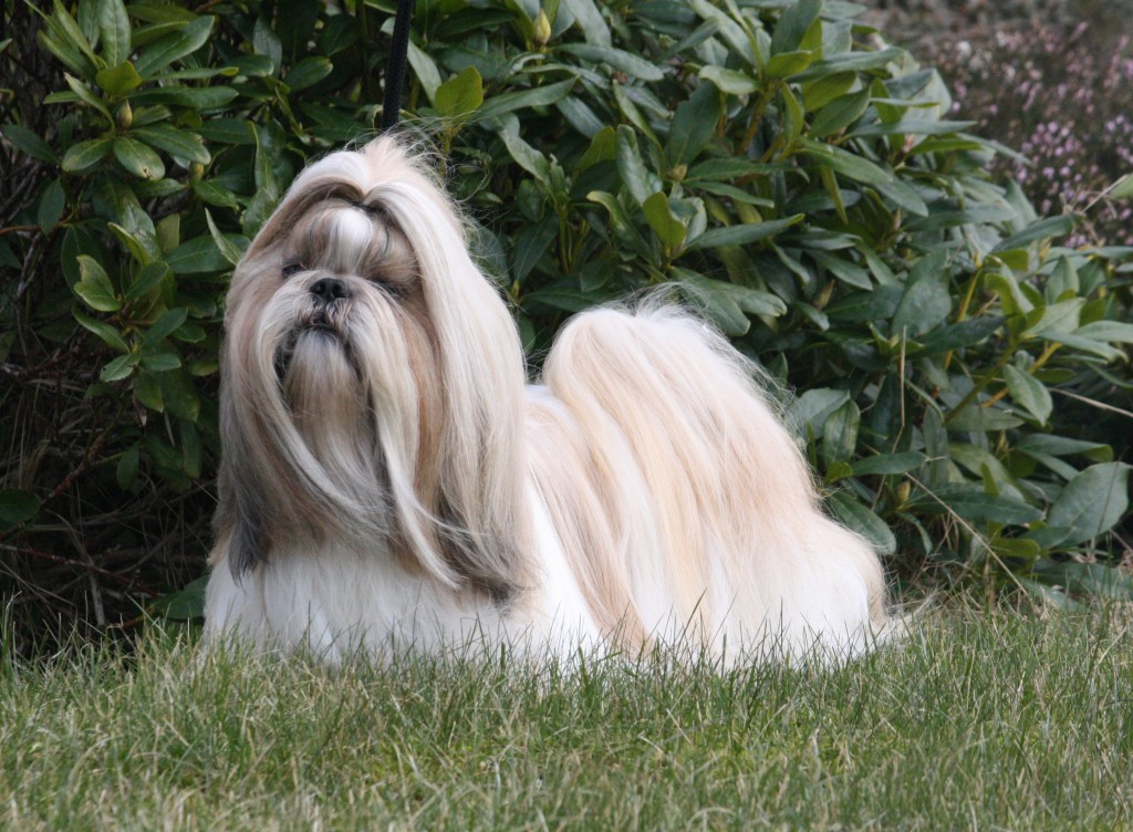 2015 – Svensk Champion SECH DKCH DECH Ziams Good Lookin Guy Ejer: Connie Bo Jonnsson Opdrætter: Kennel Ziams (S)