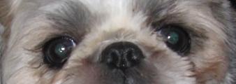 Shih Tzu øjne